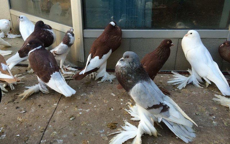 Породы диких и домашних голубей: фото, названия и описание