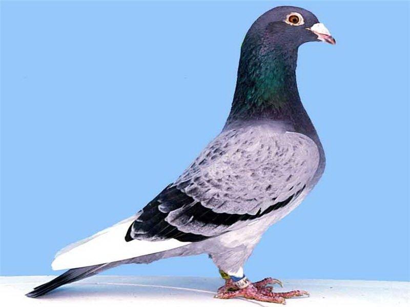 Породы диких и домашних голубей: фото, названия и описание фото