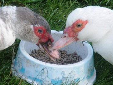 Правильное кормление при выращивании уток: видео, чем можно кормить взрослых птиц для быстрого роста