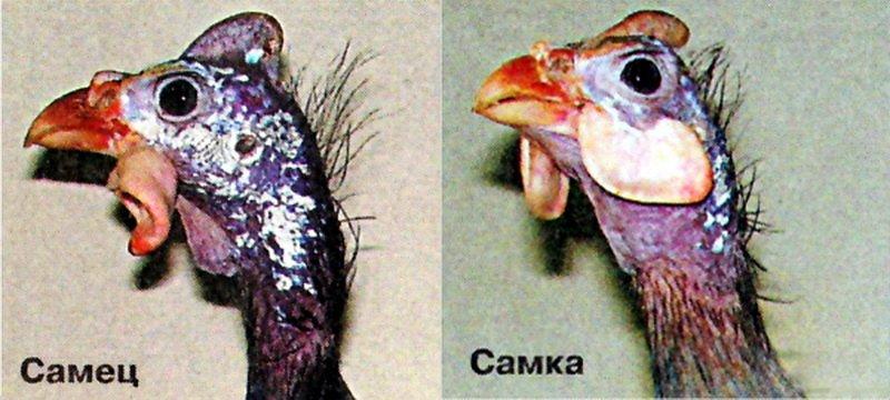 Как выглядят цесарки и чем они отличаются от других птиц (с фото) фото