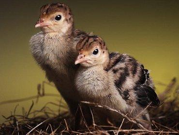 Индюки-бройлеры – выращивание и уход за суточными птенцами