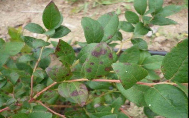 Красные листья у голубики фото