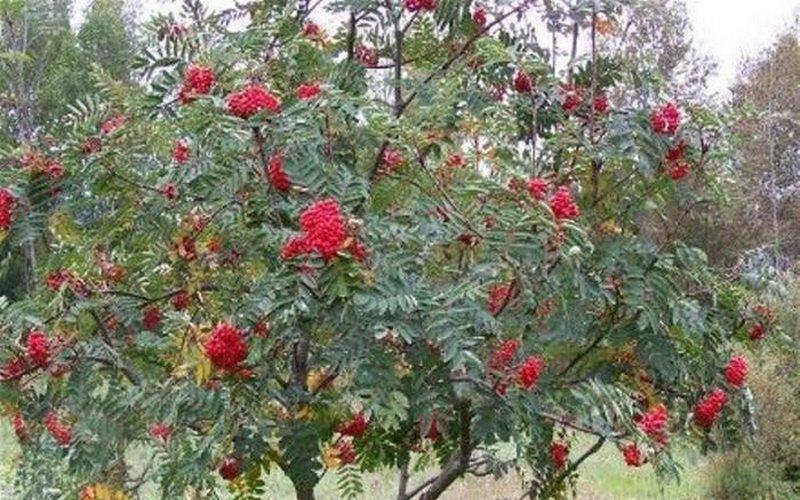 Болезни листьев рябины фото