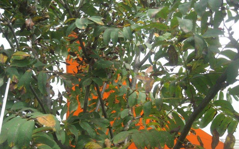 Кладоспориозная пятнистость листьев рябины.