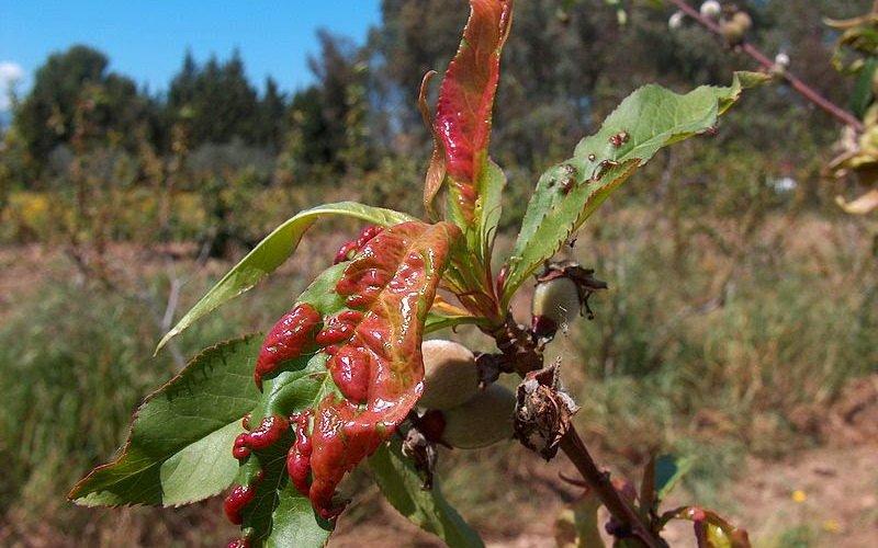 Курчавость листьев боярышника.