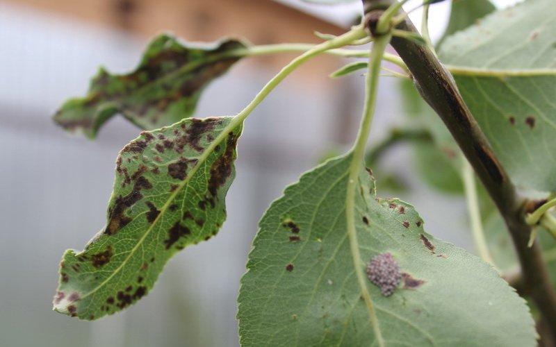Болезни ореха фундука и их лечение (с фото) фото