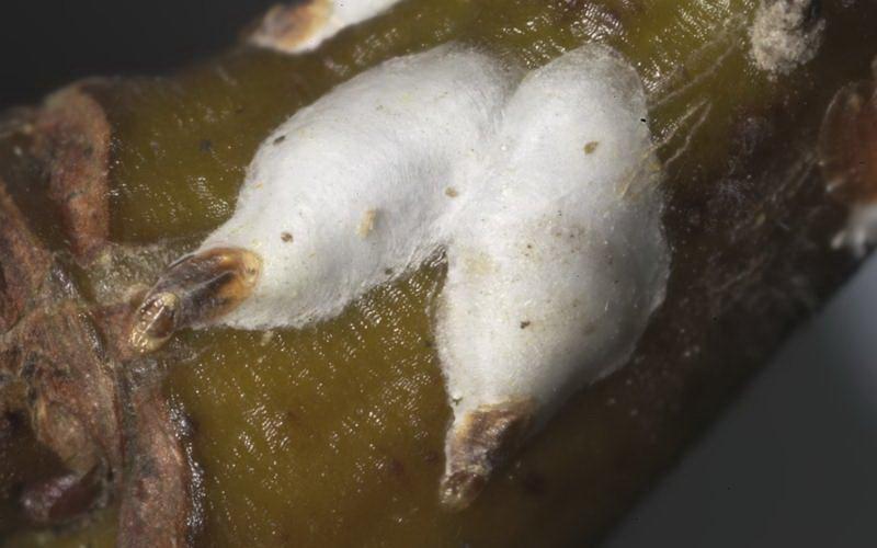 Вредители ореха лещины и фундука
