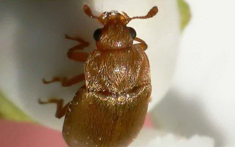 Вредители малины жуки: фото и их лечение