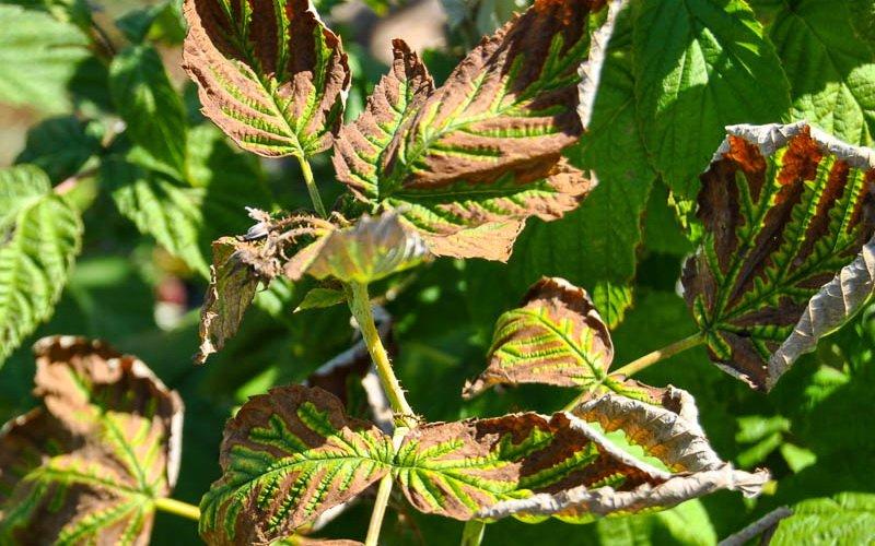 Филлостиктозная пятнистость листьев малины.