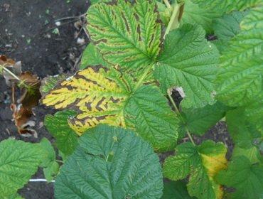 Болезни садовой малины: описание и лечение