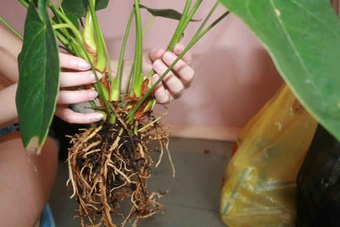 Антуриум с промытыми корнями перед пересадкой