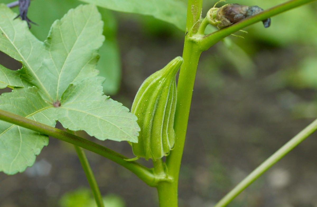 Уникальный и вкусный овощ бамия: сферы использования