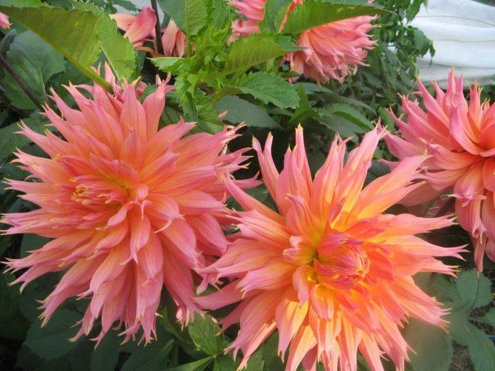 кактусовые георгины