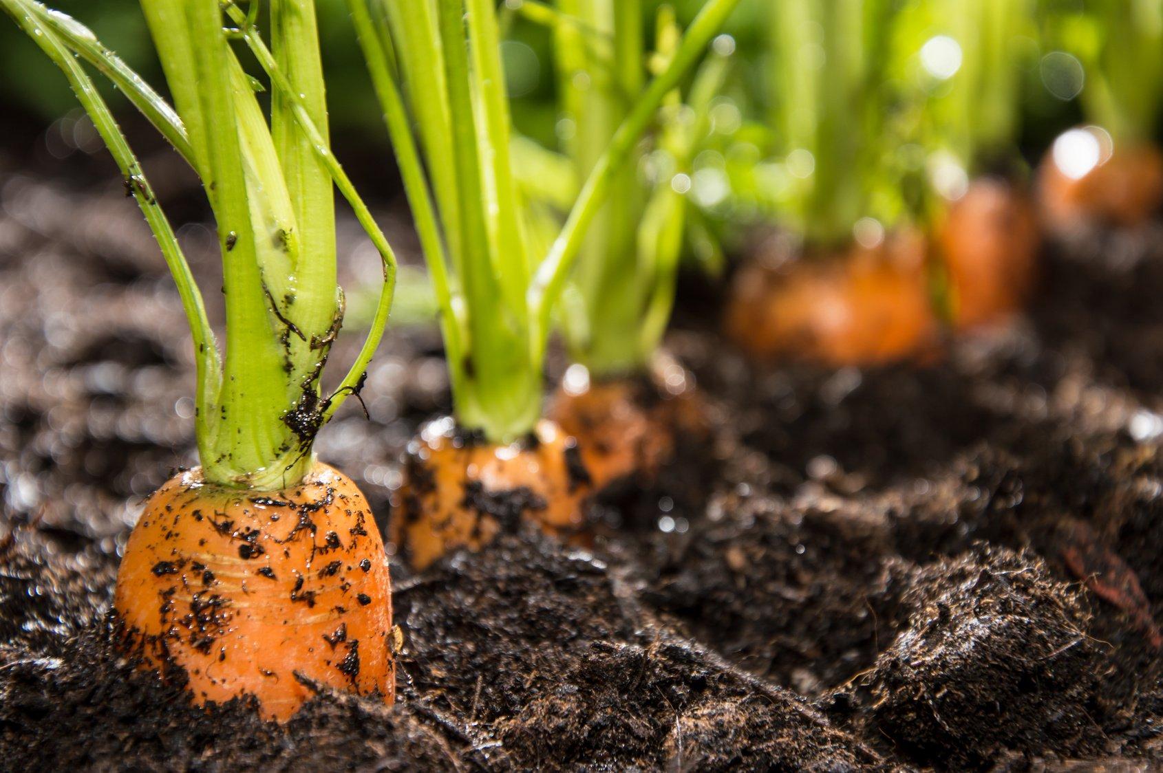 Способы посадки моркови