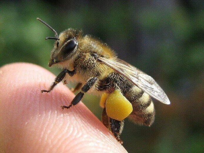 пчелка и пыльца