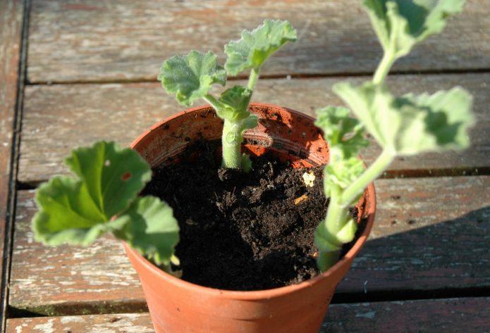 Пересаженное растение