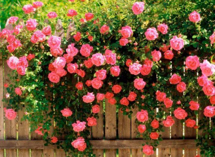 Плетистая роза у забора