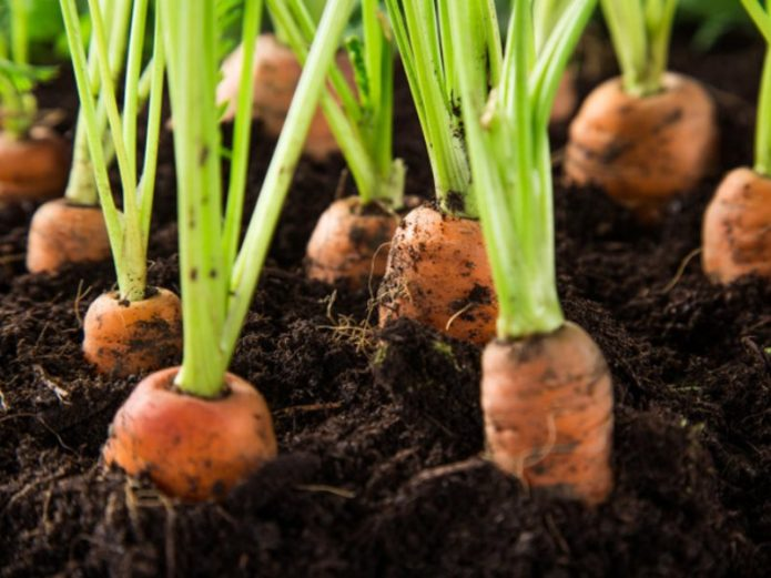 посадка морковки