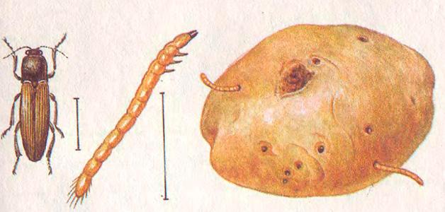 Поражение корнеплода проволочником
