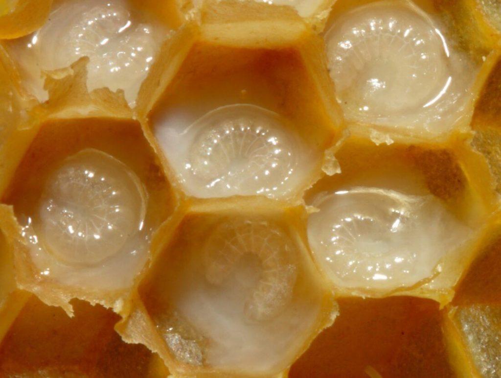 Личинки пчелы