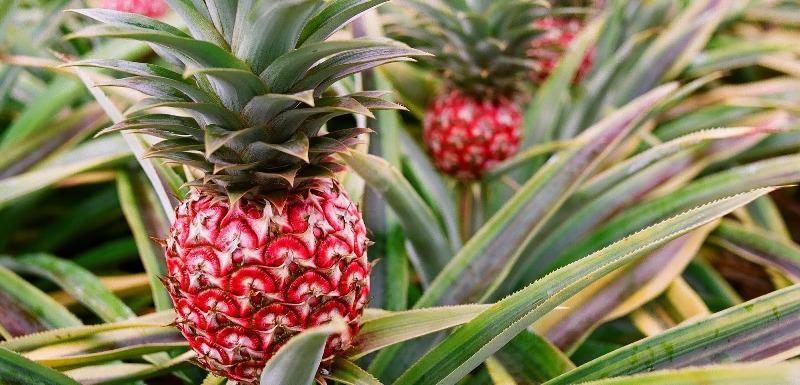 Как растет ананас: разновидности, уход, размножение