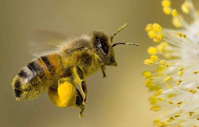 Пчелиная пыльца: полезные свойства, показания и противопоказания