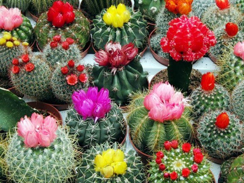 Виды кактусов и их названия с фото