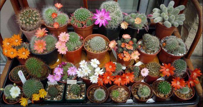 Цветущие кактусовые