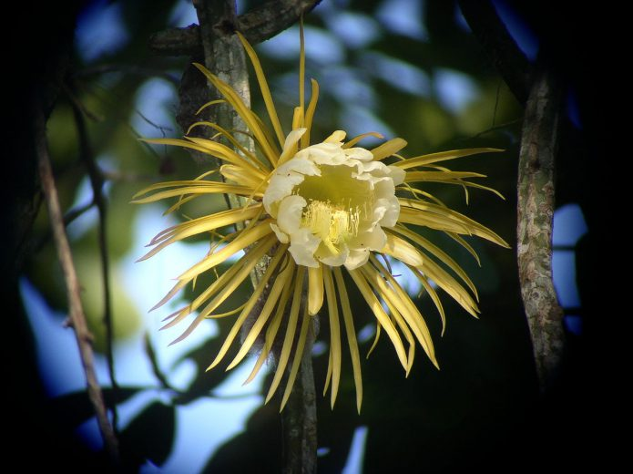 Кактус Селеницереус крупноцветковый