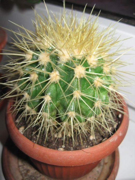 Ежовый кактус