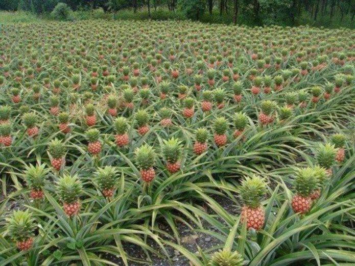 «Огород» из ананасов