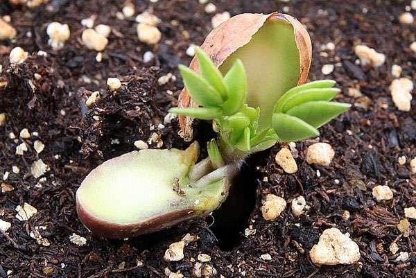 как растёт орех