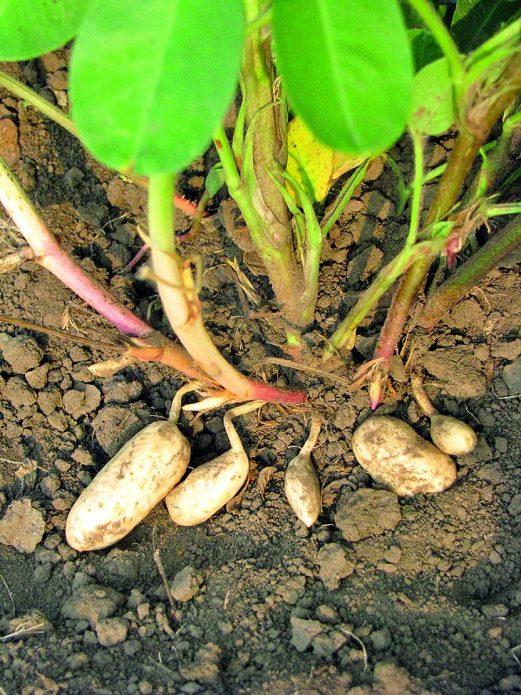 как растет арахис