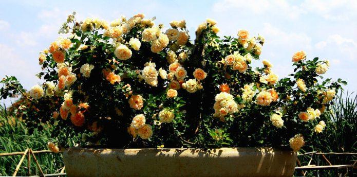 Куст роз в клумбе