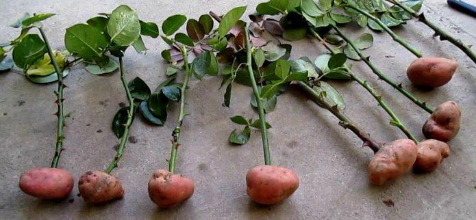 Черенки роз в клубнях картофеля