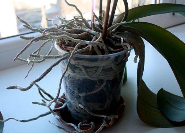Растение пора пересаживать