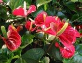 Розовый антуриум цветет