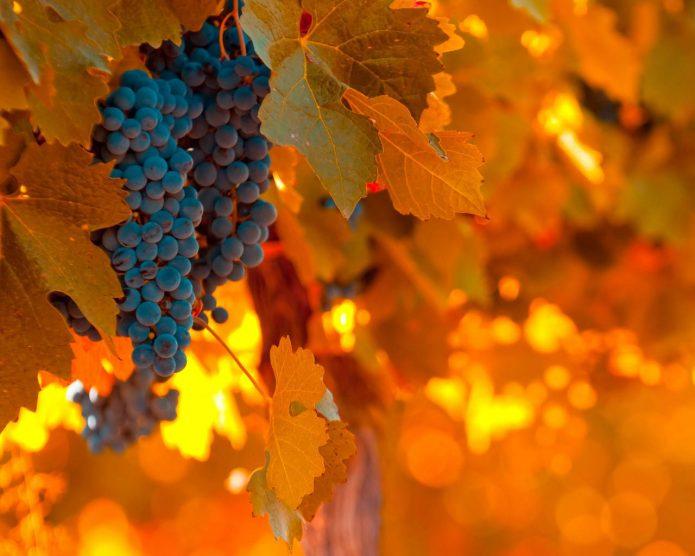 Виноград осенью