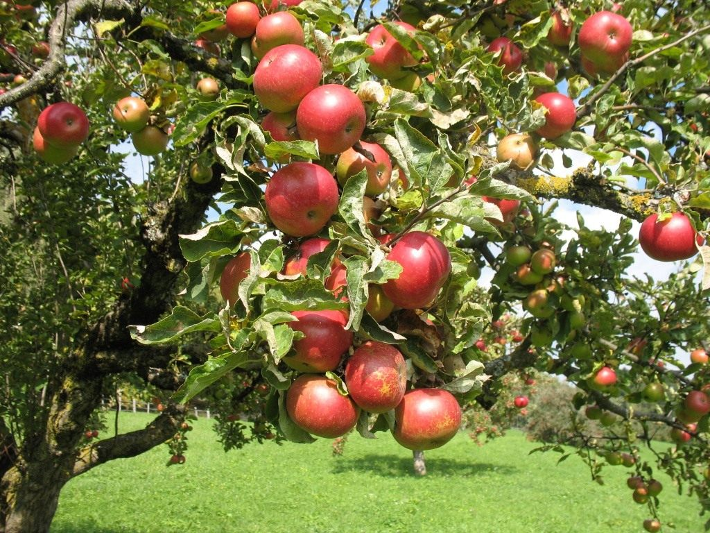 Правила заготовки и хранения черенков яблони для прививки весной