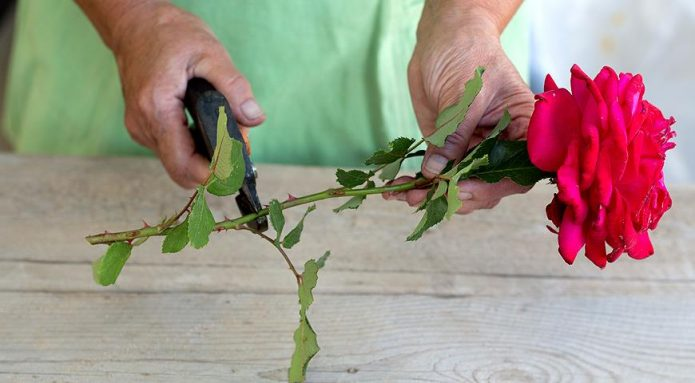Заготовка черенков для выращивания роз