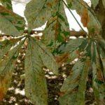 Поражение листьев каштановой молью