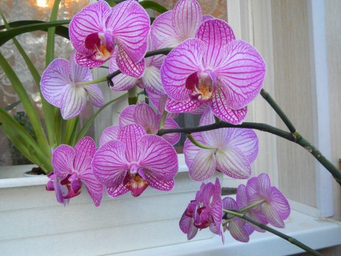 Фаленопсис бело-фиолетовый