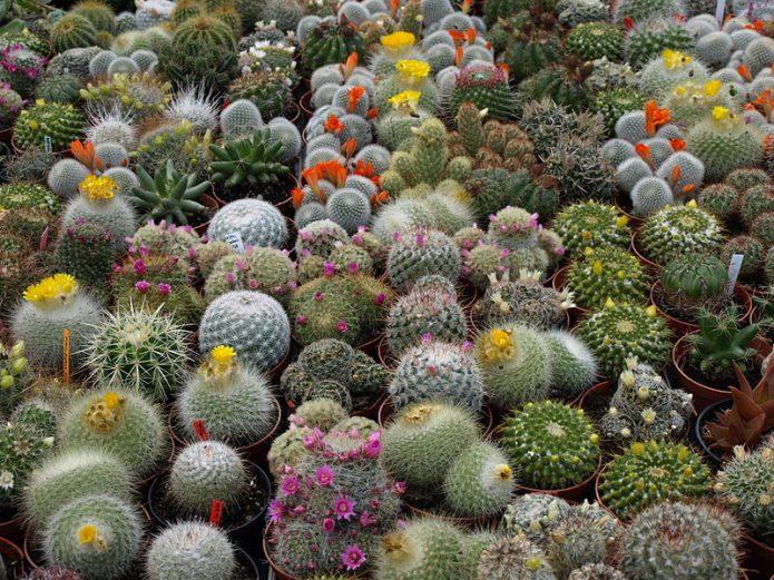 Цветущие кактусы в оранжерее