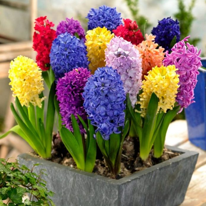 Гиацинты разноцветные