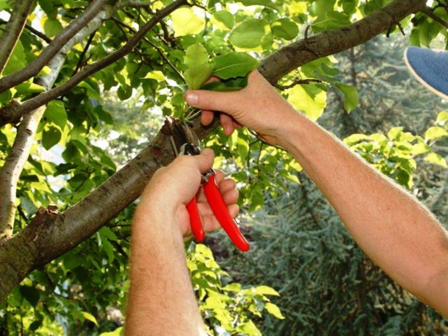 Правильная обрезка и формировка фруктовых деревьев