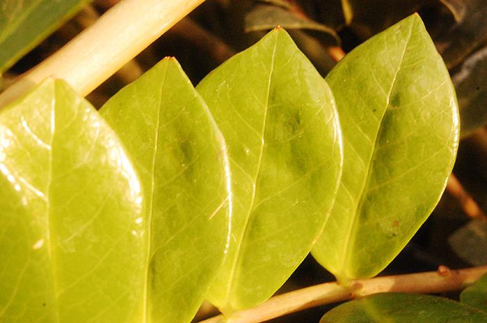 Почему у замиокулькаса желтеют листья: причины и их лечение