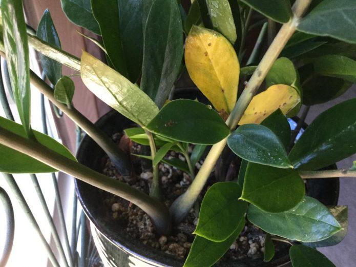 Пожелтевшие листья долларового дерева