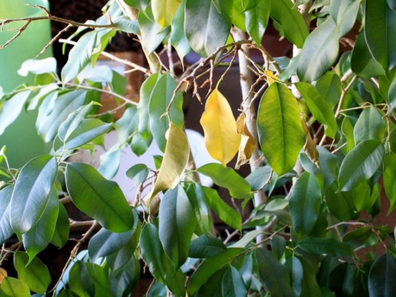 Почему у фикуса желтеют листья и что с этим делать