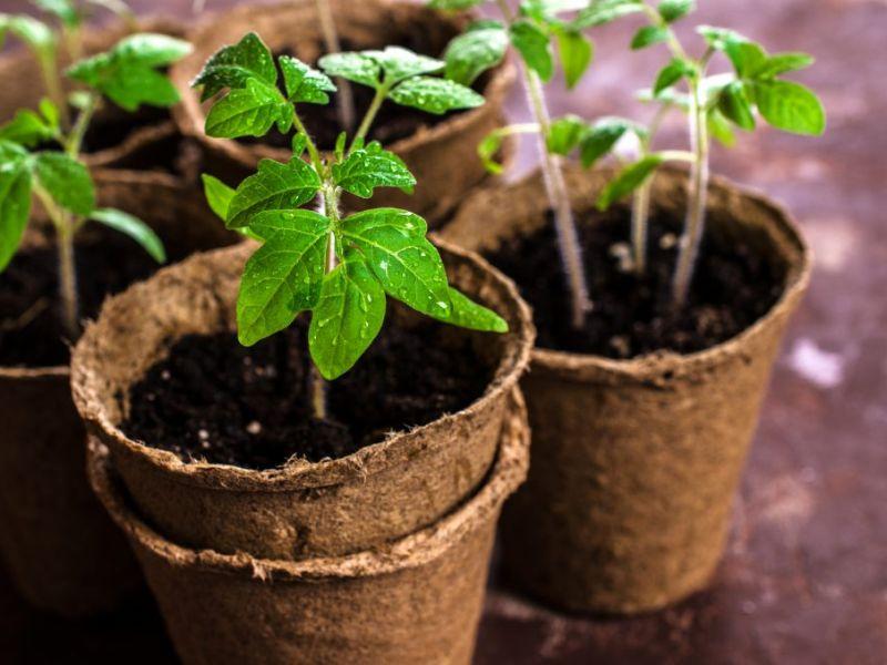 Посадка помидоров на рассаду в марте 2019 года:благоприятные дни, уход, сроки