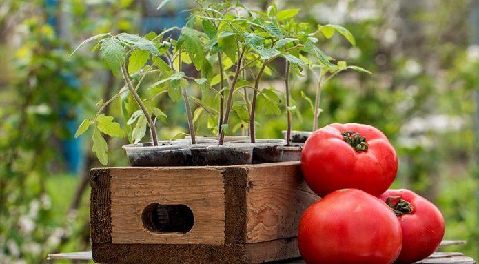 Спелые помидоры и рассада